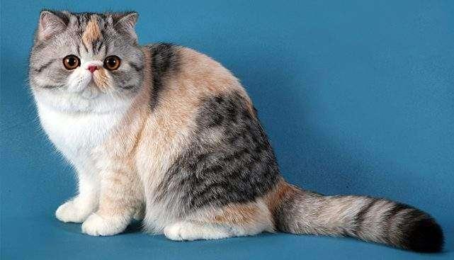 Екзотичний довгошерстий кіт